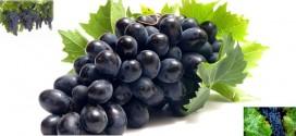 توصیه بهداشتی: برای رفع غم و غصه انگور سیاه یا شیره انگور سیاه مصرف نمایید