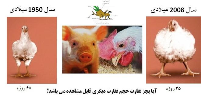 آیا می دانید مرغی که می خورید چیست؟  (تکمیل شده مطلب قبلی با ذکر منابع)