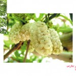 توصیه به کاشت درخت توت هراتی