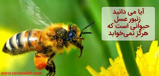 آیا می دانید زنبور عسل حیوانی است که هرگز نمیخوابد