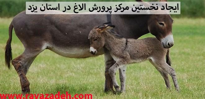 ایجاد نخستین مرکز پرورش الاغ در استان یزد