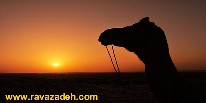 از خواص ادرار و شیر شتر