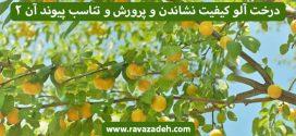 درخت آلو کیفیت نشاندن و پرورش و تناسب پیوند آن – بخش دوم