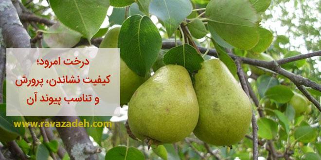 درخت امرود و کیفیت نشاندن و پرورش و تناسب پیوند آن