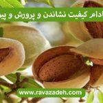 درخت بادام کیفیت نشاندن و پرورش و پیوند آن 1