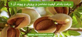 درخت بادام کیفیت نشاندن و پرورش و پیوند آن – بخش اول