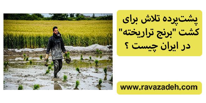 """پشتپرده تلاش برای کشت """"برنج تراریخته"""" در ایران چیست ؟"""