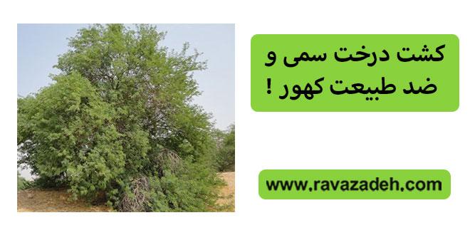 کشت درخت سمی و ضد طبیعت کهور !