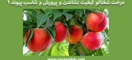 درخت شفتالو کیفیت نشاندن و پرورش و تناسب پیوند – بخش اول
