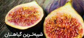 انجیر شبیه ترین میوه به میوه های بهشتی