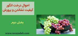 احوال درخت انگور کیفیت نشاندن و پرورش – بخش دوم