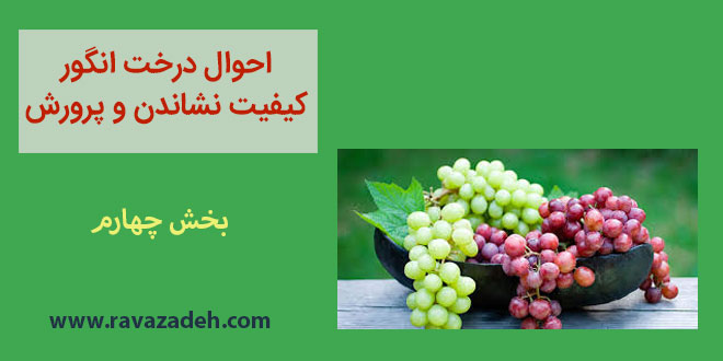 احوال درخت انگور کیفیت نشاندن و پرورش – بخش چهارم