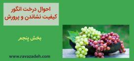 احوال درخت انگور کیفیت نشاندن و پرورش – بخش پنجم