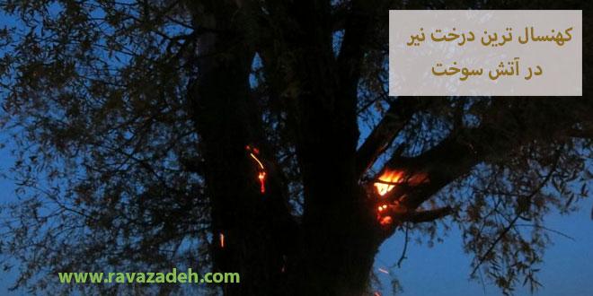 کهنسال ترین درخت نیر در آتش سوخت