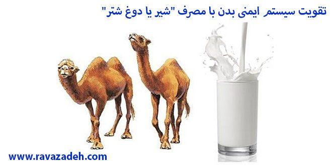 """تقویت سیستم ایمنی بدن با مصرف """"شیر یا دوغ شتر"""""""