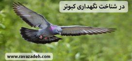 در شناخت نگهداری کبوتر