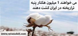 می خواهند ۱ میلیون هکتار پنبه تراریخته در ایران کشت دهند