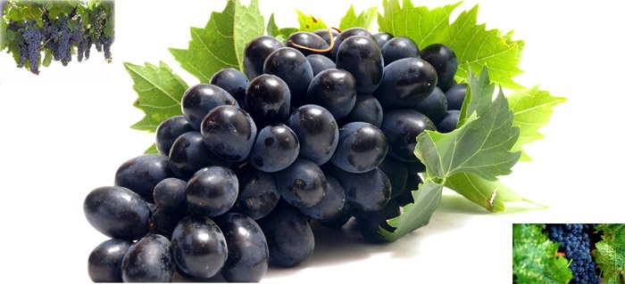 Photo of توصیه بهداشتی: برای رفع غم و غصه انگور سیاه یا شیره انگور سیاه مصرف نمایید