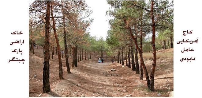 کاج آمریکایی عامل نابودی خاک اراضی پارک چیتگر