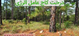 کلیپ تصویری درخت کاج عامل آلرژی