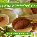 درخت بادام و کیفیت نشاندن و پرورش و پیوند آن 2