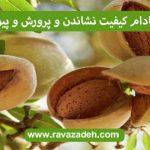درخت بادام کیفیت نشاندن و پرورش و پیوند آن 3