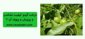 درخت گردو کیفیت نشاندن و پرورش و پیوند آن