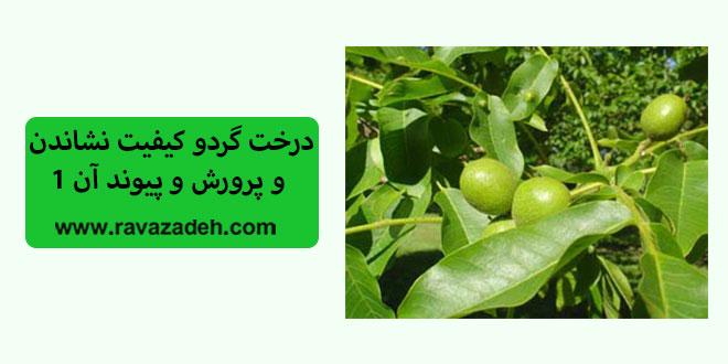 Photo of درخت گردو کیفیت نشاندن و پرورش و پیوند آن