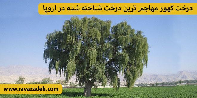 Photo of درخت کهور مهاجم ترین درخت شناخته شده در اروپا