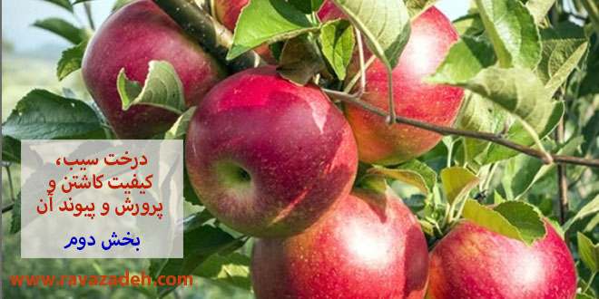 Photo of درخت سیب و کیفیت کاشتن و پرورش و پیوند آن – بخش دوم