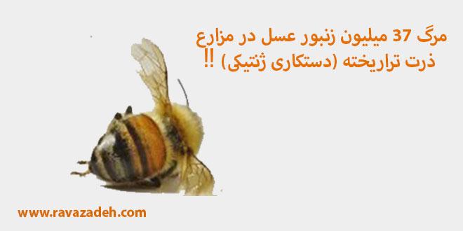 Photo of مرگ ۳۷ میلیون زنبور عسل در مزارع ذرت تراریخته (دستکاری ژنتیکی) ‼