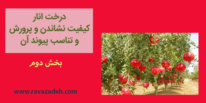 درخت انار کیفیت نشاندن و پرورش و تناسب پیوند آن – بخش دوم