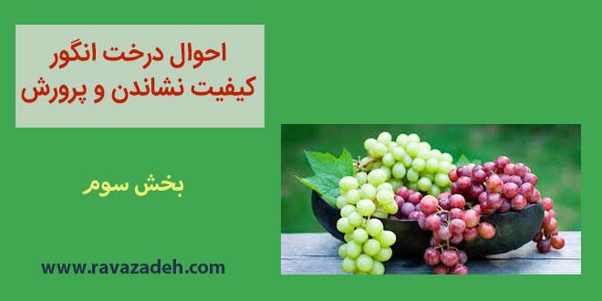 احوال درخت انگور کیفیت نشاندن و پرورش – بخش سوم
