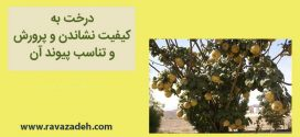 درخت به؛ کیفیت نشاندن و پرورش و تناسب پیوند آن