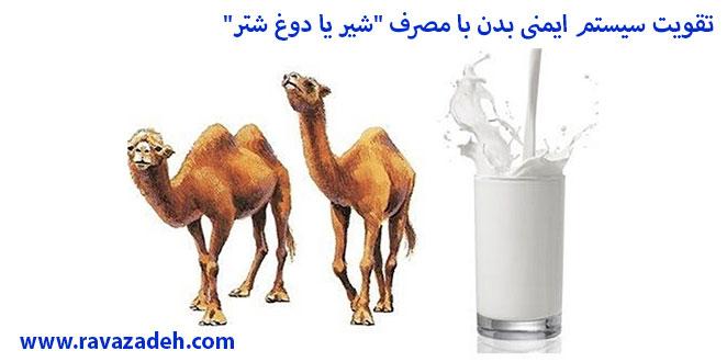 "Photo of تقویت سیستم ایمنی بدن با مصرف ""شیر یا دوغ شتر"""