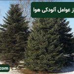 درخت کاج یکی از عوامل آلودگی هوا
