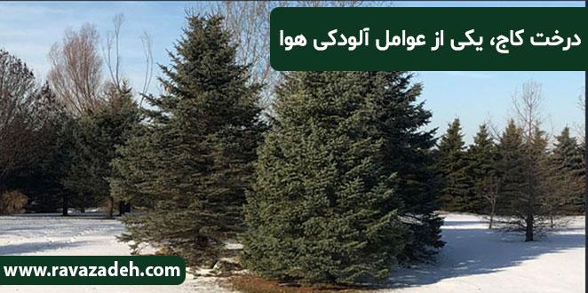 Photo of درخت کاج، یکی از عوامل آلودگی هوا