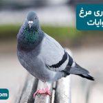توصیه به نگهداری مرغ و کبوتر در روایات