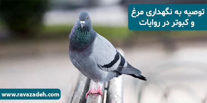 Photo of توصیه به نگهداری مرغ و کبوتر در روایات