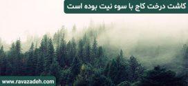 کاشت درخت کاج با سوء نیت بوده است