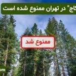 """کاشت """"درخت کاج"""" در تهران ممنوع شده است"""