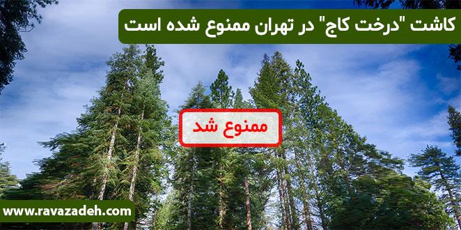 "Photo of کاشت ""درخت کاج"" در تهران ممنوع شده است"