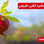 دود چوب انار؛ حشره کشی طبیعی
