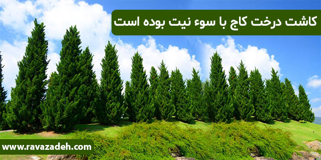 Photo of کاشت درخت کاج با سوء نیت بوده است