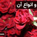 گل سرخ و انواع آن