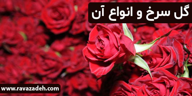 Photo of گل سرخ و انواع آن