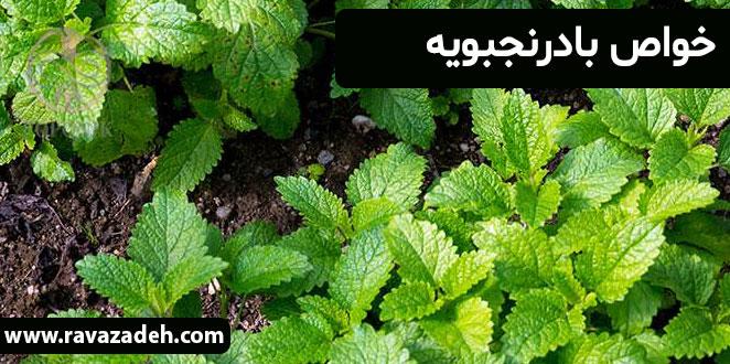 Photo of خواص بادرنجبویه