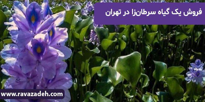 فروش یک گیاه سرطانزا در تهران